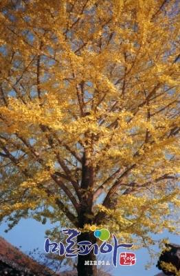 군목-은행나무